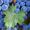Продам виноградОптом 1кг 3-50грн #1498164