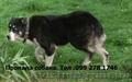 Пропала собака породы Алабай Ужгород