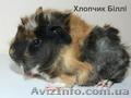 Продам детенышей морских свинок породы розетка-ангора - морские свинки