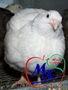 Инкубационные яйца перепелов разных пород.