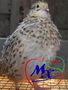 Инкубационные яйца перепелов разных пород. - Изображение #2, Объявление #968565