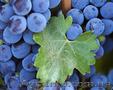 Продам виноградОптом 1кг 3-50грн