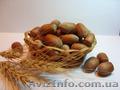 Продам саженцы фундука(орешника, лесного ореха, лещины) - разных сортов.
