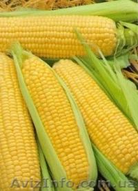 Продаю сортовую кукурузу Айова Свит, Объявление #1523193